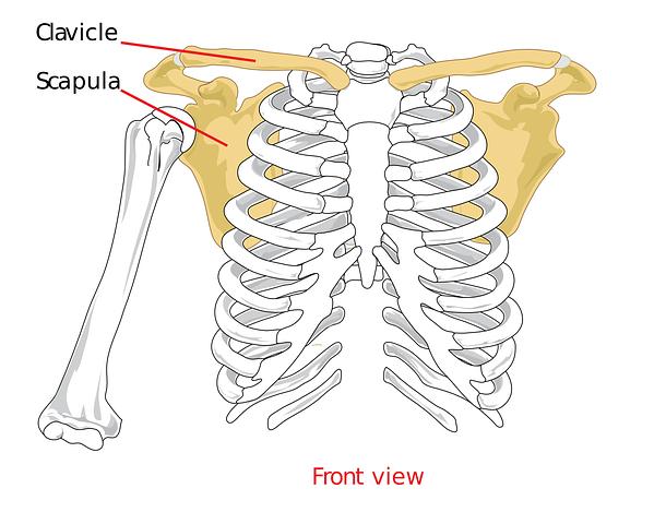 肩甲骨周りと筋肉